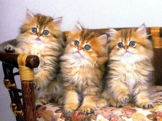 Трио котят