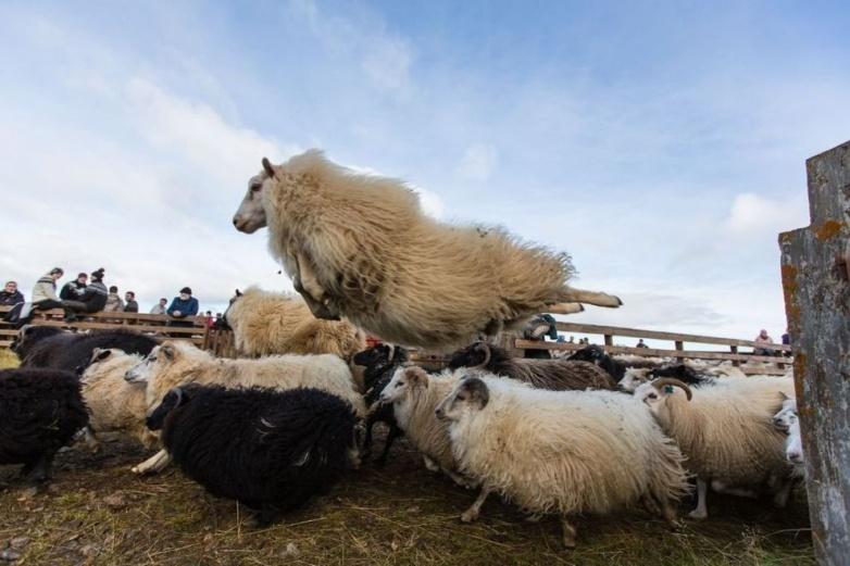 Овца в прыжке