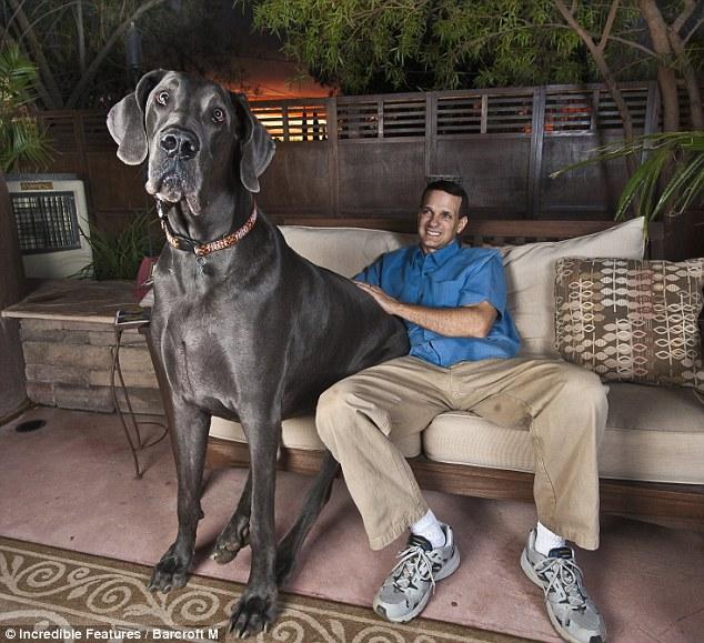 """Возможно самая высокая собака в мире. """"Джордж Гигант"""" - такую кличку носит собака породы bluegreatdane, которую её хозяева: Дэвид и Кристина взяли к себе в дом в возрасте 7 недель. Тогда они даже и представить себе не могли, в какого гиганта превратится их щенок к четырём годам. Ведь отрезок от кончика лапы до плеча у Джорджа сейчас составляет почти 1 метр (42,625 дюйма)"""