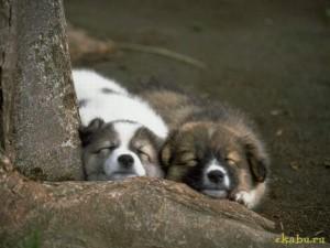 Щенята спят