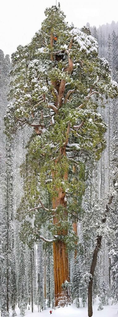 Третья по высоте секвойя в мире