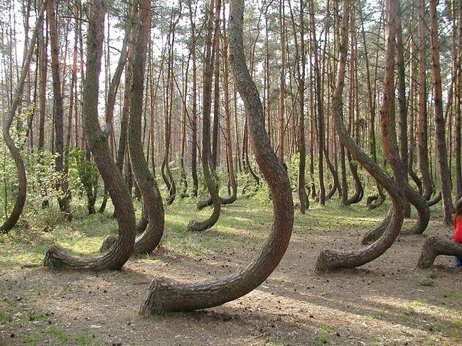 Рядом с городом Грыфино в Польше растет необыкновенный сосновый лес. В лесу порядка 400 таких изогнутых деревьев