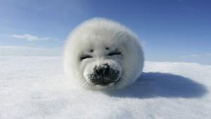 Маленький тюлень