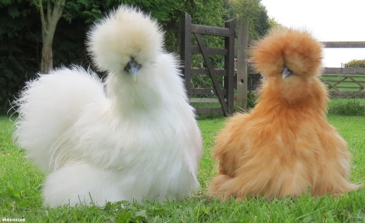Шелковая курица