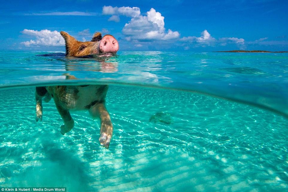 Счастливая жизнь веселых хрюшек на Багамах