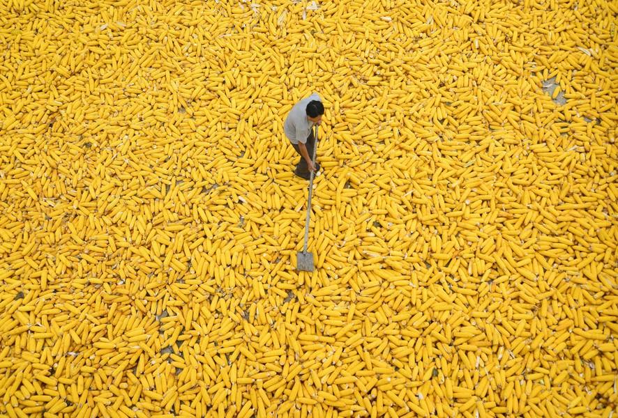 Урожай сахарной кукурузы, Ляочэн, Китай.