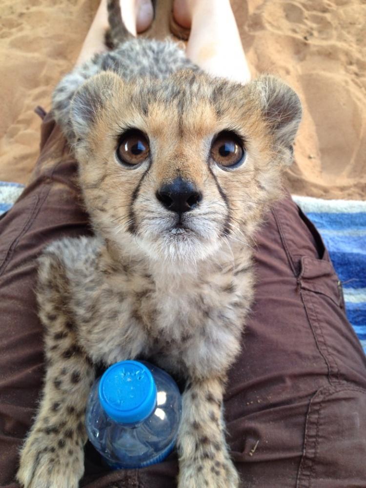 Спасенный детеныш гепарда