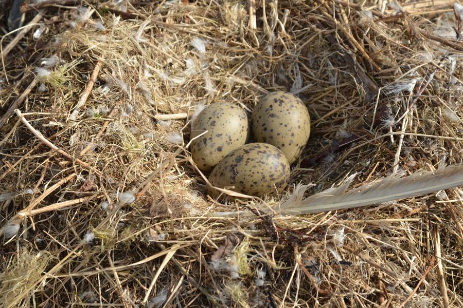 Чайка-самец строит гнезда среди камней а самка откладывает в готовое гнездо яйца и высиживает птенцов