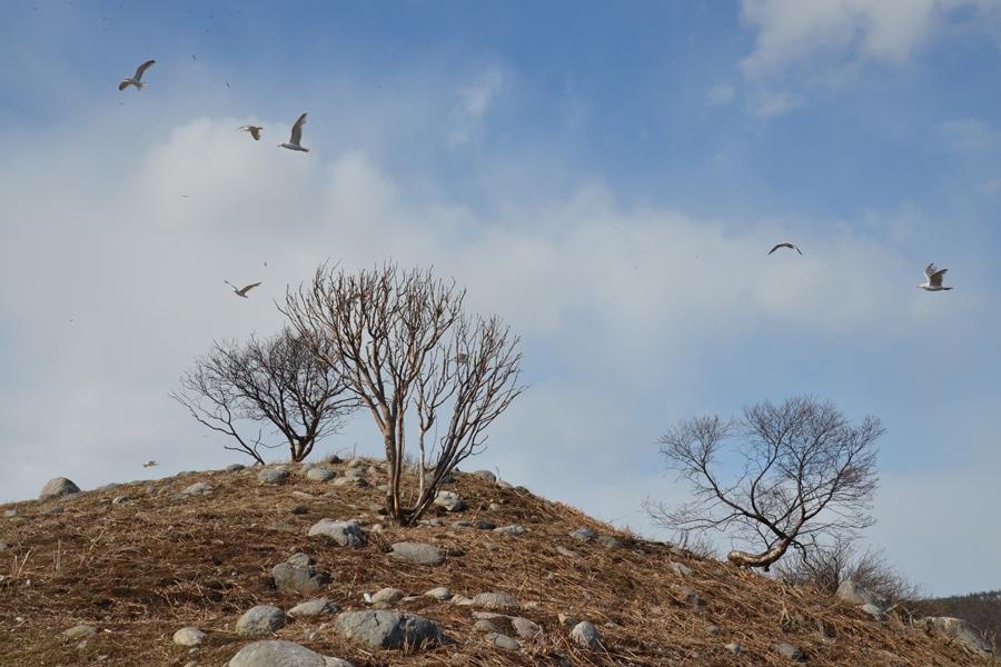 Чаячий остров на р. Тулома любимое место у птиц