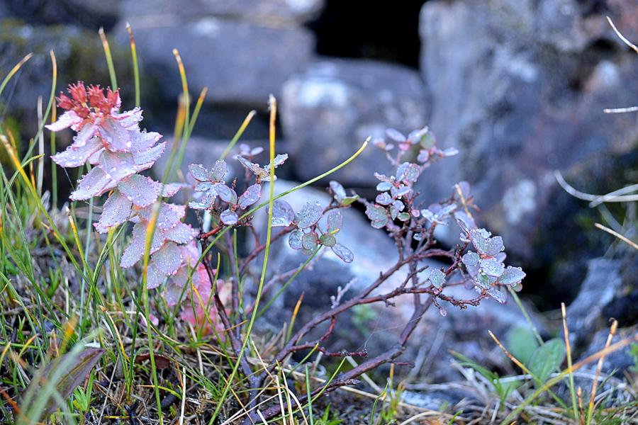 Заросли Золотого Корня. Это лекарственное растение. Золотой корень позволяет повысить умственные, физические и психические способности