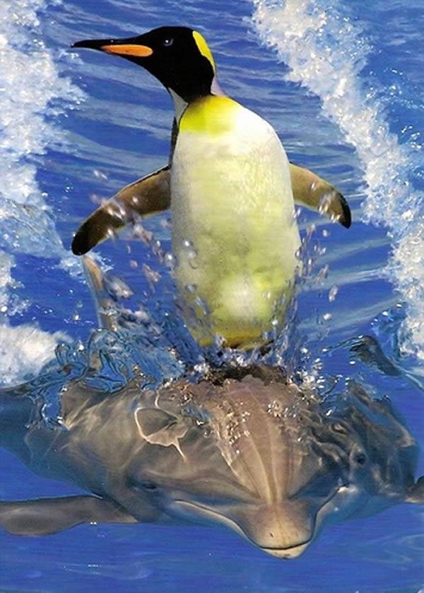 Пингвин катается на дельфине