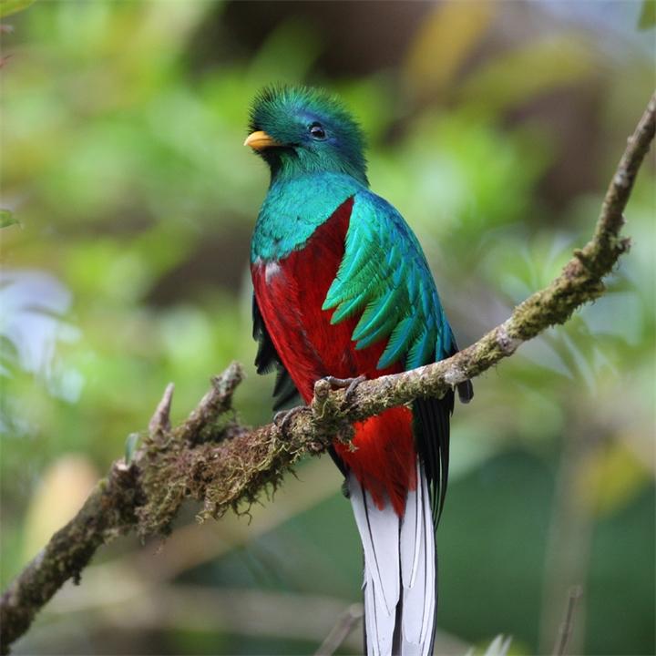 Квезаль - редкая птица, вымирающий вид. Священная птица майя.
