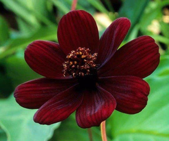 Cosmos atrosanguineus – цветок, который пахнет, как шоколад.