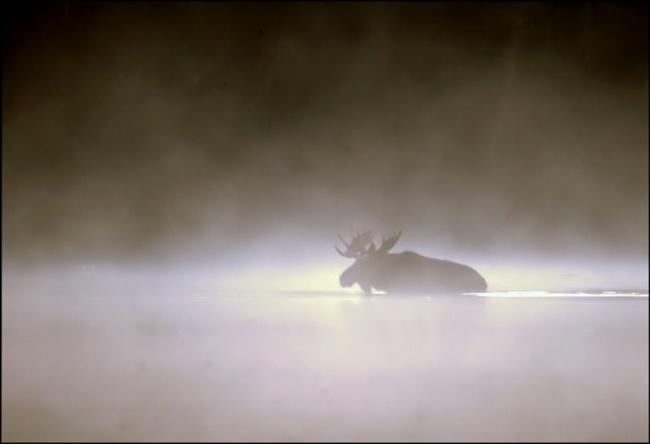 178 Лось в тумане