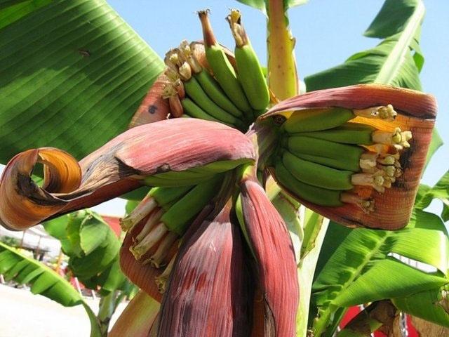 Цветение бананов