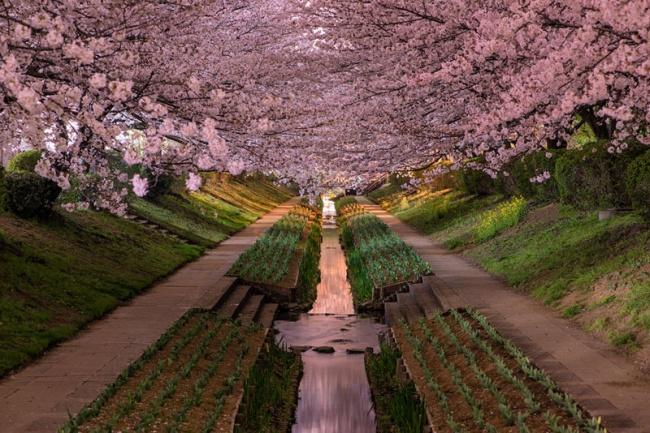 215 Цветущая сакура