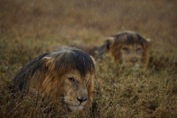 Львы под дождем, Танзания