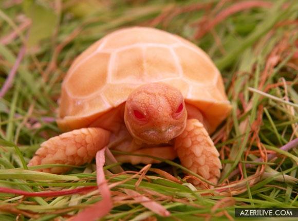черепаха-альбинос.