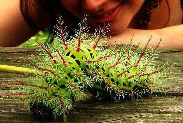 Lonomia - ядовитая гусеница из Бразилии.