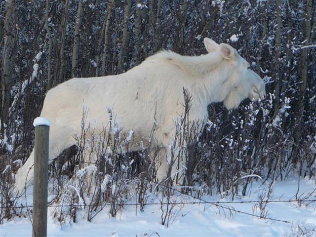 266 Белый лось- настоящее чудо природы...