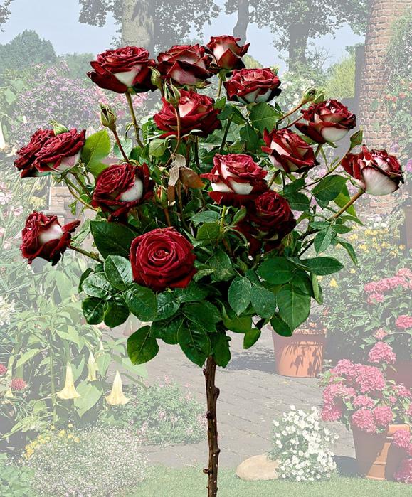 268 Роза сорта Osiria.