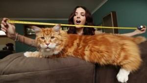 1 самый длинный в мире кот - позитивные новости