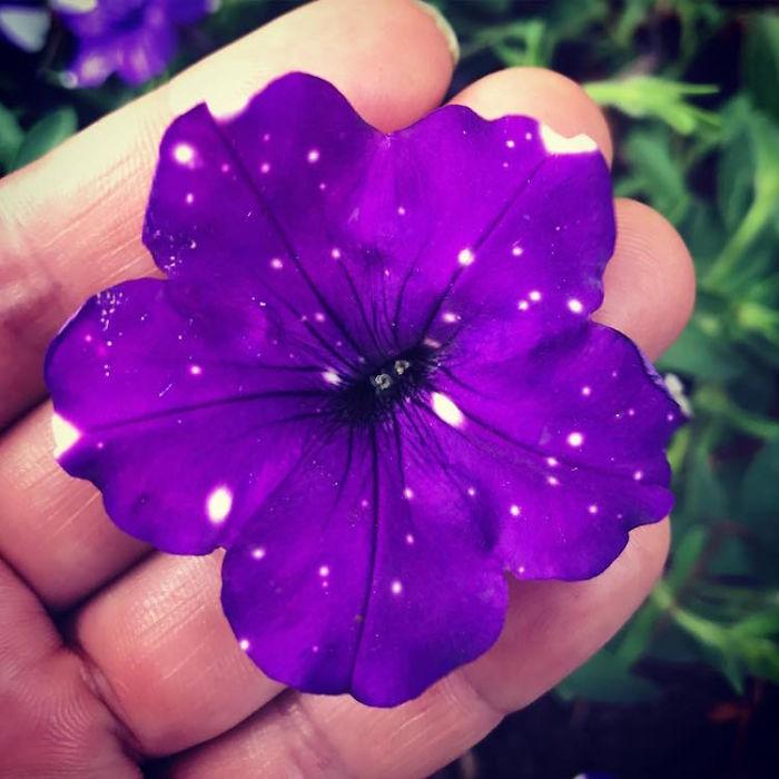 цветы петунии - галактика на лепестках